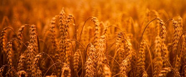 wheatapp